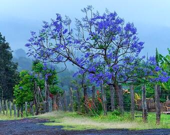 art print, wall decor, nature photography, home decor, fine art, jacaranda tree, purple blooms, lavender, springtime, landscape, flowering