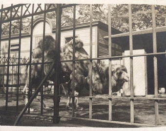 vintage photo 1911 Camel at the New York City Zoo