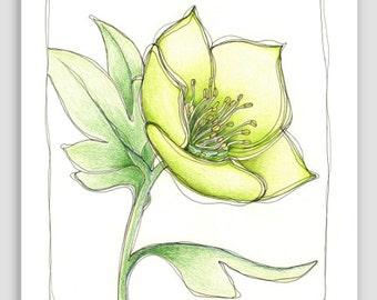 Botanical Art Print, Green Hellebore Flower Illustration, Archival Fine Art Print 'Green Hellebore Sketch'