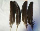 Peacock wing Feathers for crafting,smudge fan collection  hm3, natural colored,cruelty free feathers