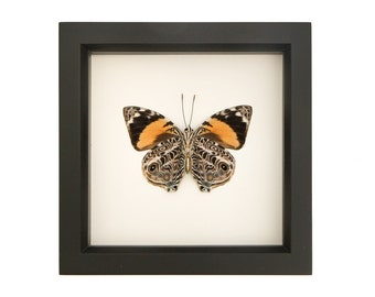 Real Framed Butterfly Taxidermy Display F1562