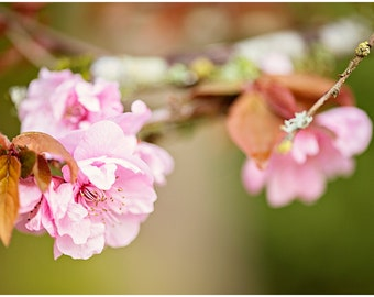 Pink Cherry Blossoms Flower Fine Art Canvas wrap -Spring
