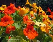 Nasturtium flower seeds, gardening gifts, spring flowers, gifts for gardeners