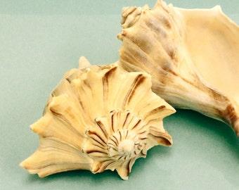 "Whelk Seashell - 5"" - 6"""