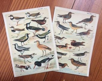 1904 set of 2 bird prints original antique ornithology print color lithograph - shore birds