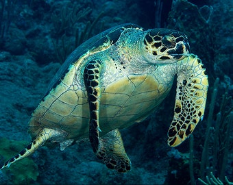 Sea Turtle Decor Underwater Photography print
