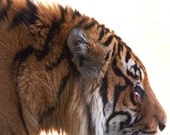 Kids Wall Decor, Home Decor, Decal, Sumatran Tiger Conservation, Nursery Art, Orange, Black, Stripe - Stalk