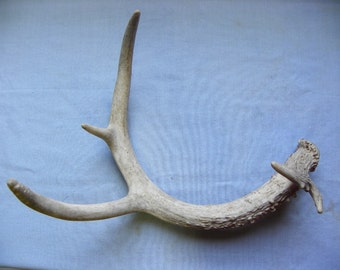 Cruelty Free • Whitetail Buck Deer Antler Shed Natural Harmless | Horns | Curio Mammal Specimen Taxidermy Dog Toy Decorations