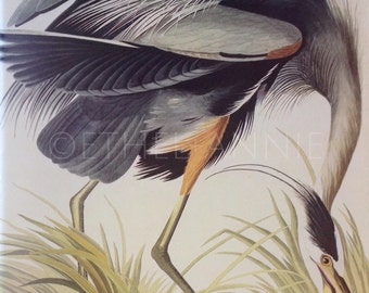Audubon Great Blue Herron An Original Book Page Illustration from Vintage 1974 Book