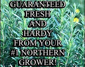 Rosemary-Non-GMO Organic Heirloom Herb Seed