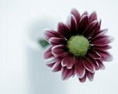 Drops on a Daisy - flower photography, modern home decor, raindrops, maroon flower photo, minimalist art, 8x10 print