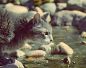 Cat Photography,gray tabby cat,cat drinking from stream,serene,soft neutral colors,nature,cat lovers home decor,gift idea for cat person