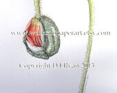 Spring Art - Botanical, Gardens, Watercolours - Poppy Bud - Limited Edition Glicee Print from Original Watercolour and Pencil Drawing