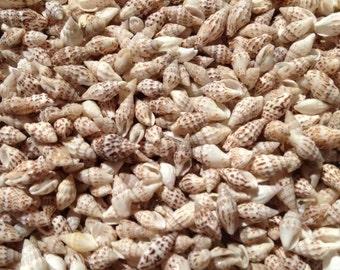 Spotted Nassa Seashells, Sea Shells