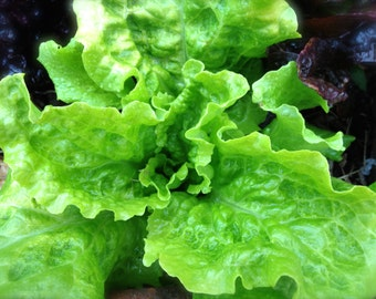 Black Seeded Simpson Excellent Quality and Flavor Organic Heirloom Leaf Lettuce Seed Rare