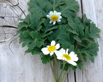 Feverfew Medicinal Herb Perennial Seeds Grown to Organic Standards Easy to Grow