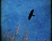 Flight I- Crow in flight, Rook photograph, corvid print, crow photo, black bird in flight, square picture, healing art, spirit guide
