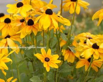 Black Eyed Susan Day - Black-Eyed Susan Wildflowers Fine Art Photography Print
