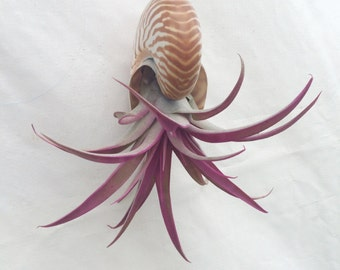 Air plant hanging shell planter  medium nautilus with pink capitata plant