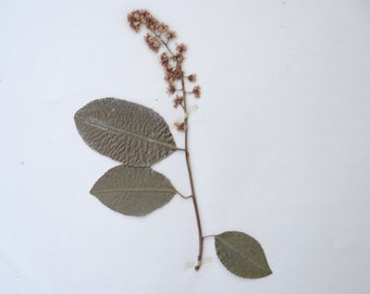 1903 Pressed Dried Botanical Wild Cherry, Herbarium of Bertha Howard, Salem School