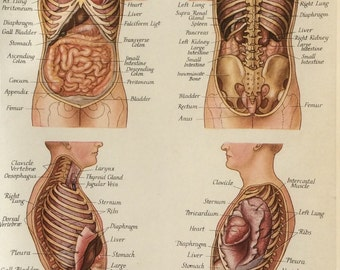 Vintage Human Anatomy Dissection  Bookplate Print 1920s Medical Diagram Viscera Heart RIBS LUNGS Human Body Organs