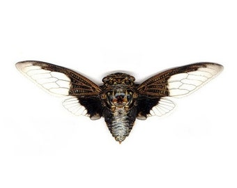 """4.5+"""" Real Cicada butterfly Cryptotympana Aquila spread dried insect and wings bug taxidermy"""