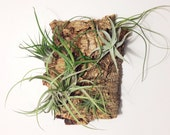 Air Plant Wall Hang: Vertical Garden on Cork Bark
