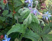 Borage - Borago officinalis - Starflower