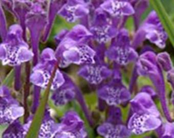 Skullcap Seeds - Scutellaria baicalensis -- Medicinal Herb