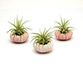 3pc Tillandsia Air Plants with Pink Sea Urchins / Gift Box Included