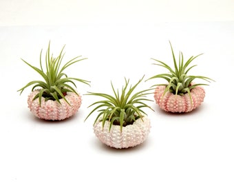 FREE SHIPPING Trio Pack Air Plants with Pink Sea Urchins // Nautical // Beach