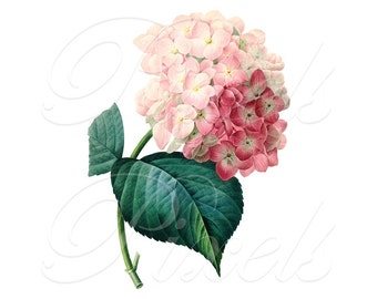 HYDRANGEA Instant Download, Digital Image, pink flower wedding clipart digital downloads Redoute no.030