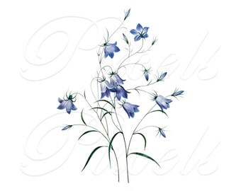BELLFLOWER Instant Download Digital Download, wedding blue flower clipart campanula illustration Redoute 296
