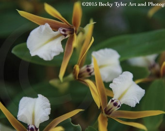 Epidendrum Orchids Fine Art Photo Print