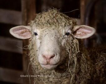 Lambs, photo, spring, sheep, wool, fleece, hay, fine art, photography, portrait