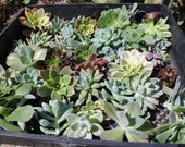 """25 Stunning wedding ROSETTE Succulent CUTTINGS (1-3""""inches) great for FAVORS bouquet corsage wreath"""