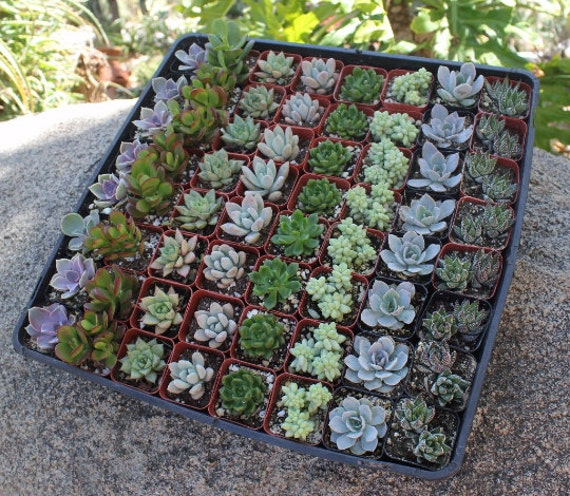 "65 Wedding collection Beautiful Succulents in their plastic 2"" Pots great as Party Gift WEDDING FAVORS echeverias rosettes~"