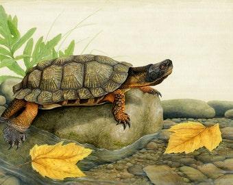 Wood Turtle- 16.25 x 12.5 inch print by Matt Patterson, wood turtle, turtle
