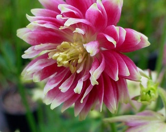 Heirloom Nora Barlow's Double Mix Columbine Seeds, Perennial Flowers, 20 Seeds