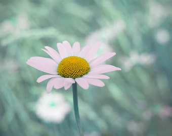 Daisy photo, flower photo, wild flower photo, flower art, teal home decor, green, aqua