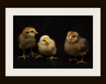 Chicken Photography, Baby Chick Photography, Animal Photography
