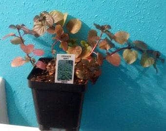 Mmmmmmm!!! Orange Mint Plants!