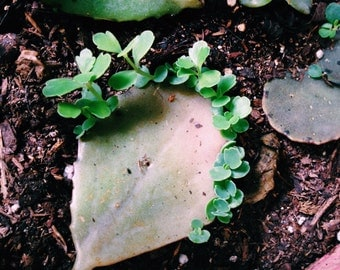 Organically Grown Lavender Scallops, Kalanchoe fedtschenkoi - Succulent - Easy to Grow! - Cuttings Ready to Plant!