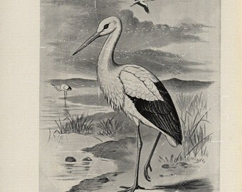 Antique Original Bird  Lithograph - White Stork  Black and White Print  dated 1890