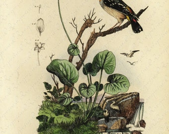 Antique Original  Natural History Hand Colored Print Of Brids  Gorgeous from HISTOIRE NATURELLE
