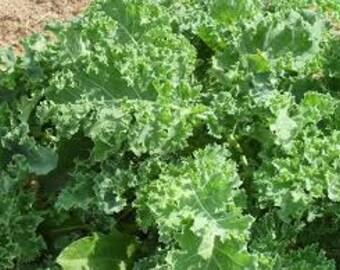 KALE - Blue Scotch Kale, 80+ seeds