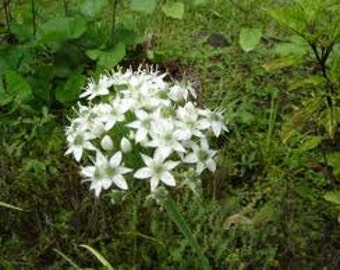 GARLIC CHIVE, Chives gardening seeds - eidble flowers