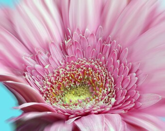 Pink Gerber digital photo