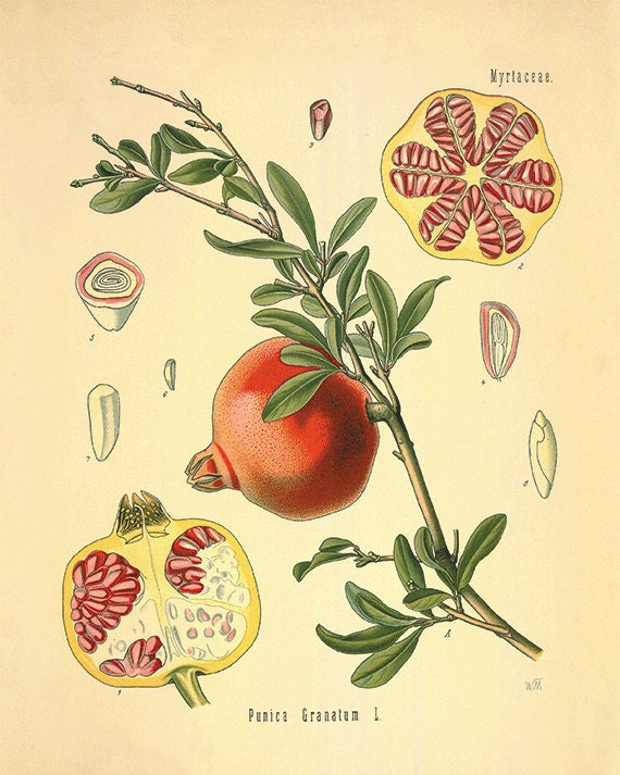 pomegranate art kitchen art print antique prints botanical art
