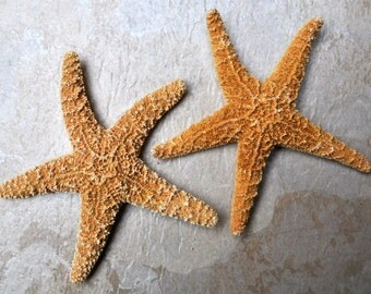 "Large Sugar Starfish (2 pcs.) - (6"") - Piaster Ochraceus"